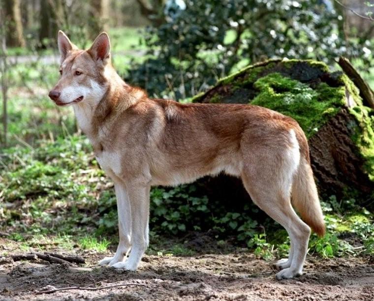 Afbeeldingsresultaat voor saarloos wolfhond