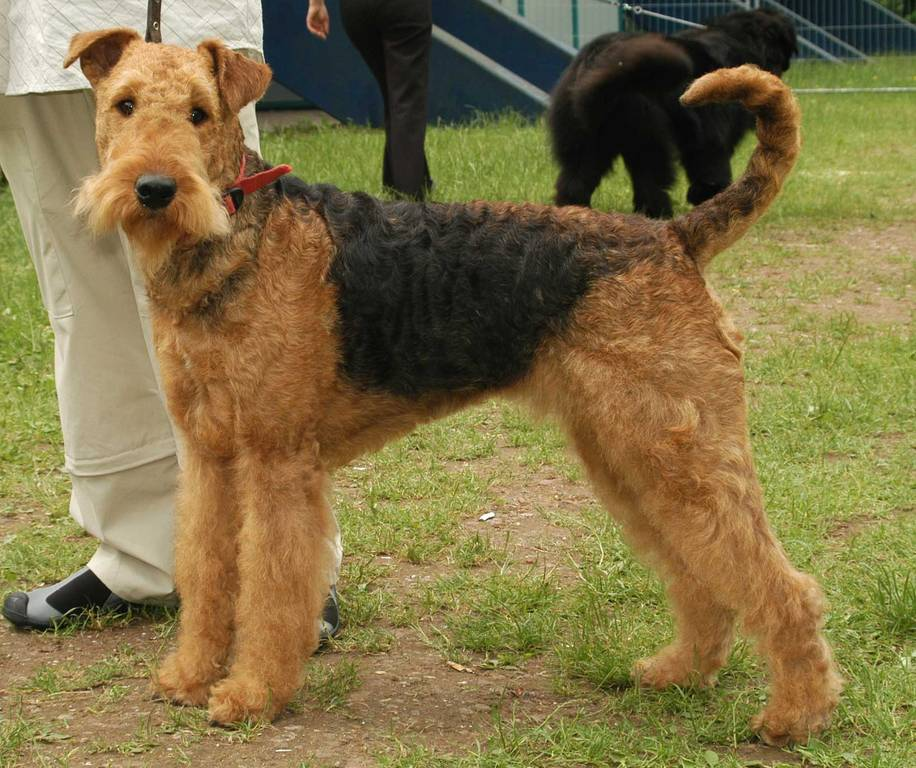 airedale terrier club of america - 916×768
