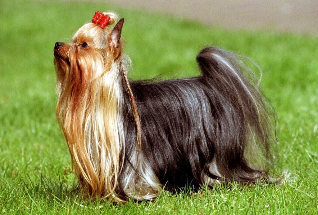 Picture Of A York Dog
